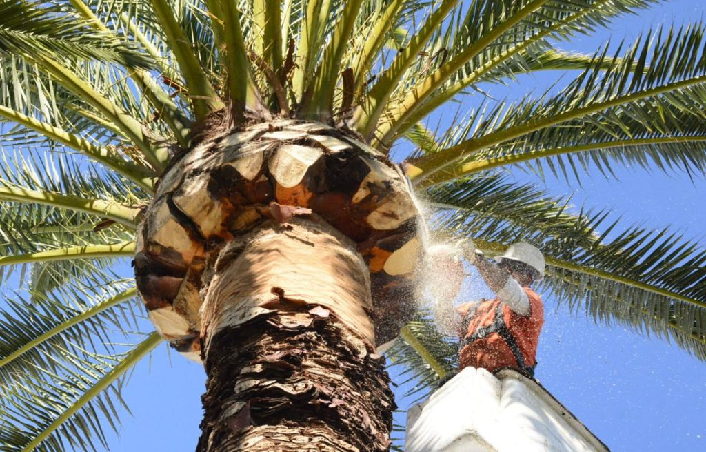 Palm-Tree-Trimming-Henderson Tree Trimming and Stump Grinding Services-We Offer Tree Trimming Services, Tree Removal, Tree Pruning, Tree Cutting, Residential and Commercial Tree Trimming Services, Storm Damage, Emergency Tree Removal, Land Clearing, Tree Companies, Tree Care Service, Stump Grinding, and we're the Best Tree Trimming Company Near You Guaranteed!